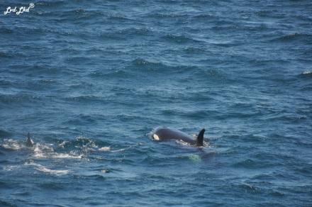 2 orques (3)