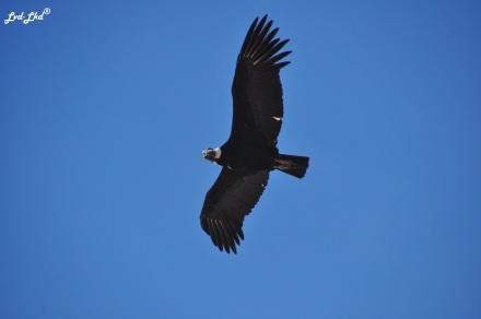 10 Condor