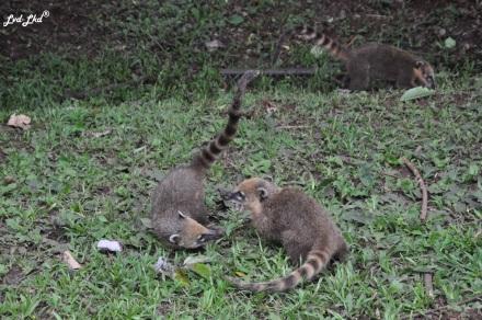 4 Chutes d'Iguazu singe (4)