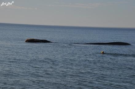 8 baleine nage 2 (1)