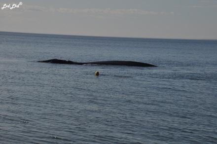 8 baleine nage 2 (2)