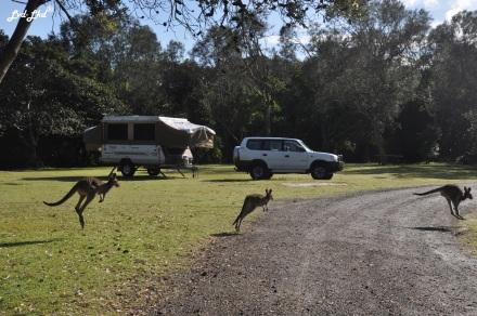 4 kangourou (1)