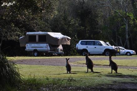 4 kangourou (2)