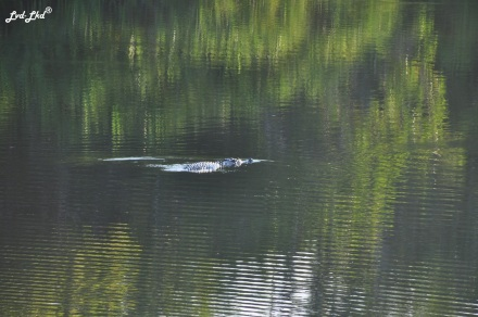 4 crocodile kakadu (2)