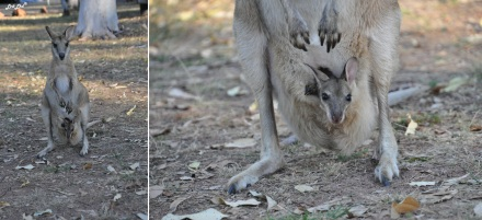 4 wallaby (1)