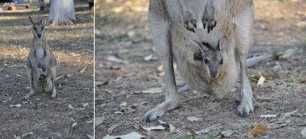 4 wallaby (1)