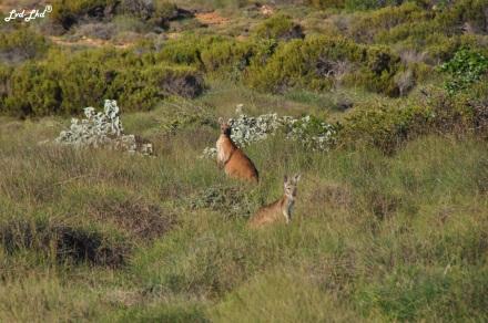 7 kangourous (4)