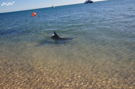 3 dauphins monkey mia (3)