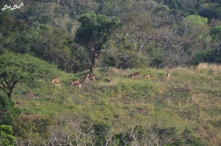 5 impalas et oiseau (4)