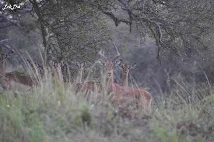 5 impalas et oiseau (6)