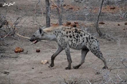 1-hyene-tachetee-2