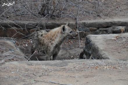 1-hyene-tachetee-3