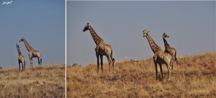 10-girafes-2