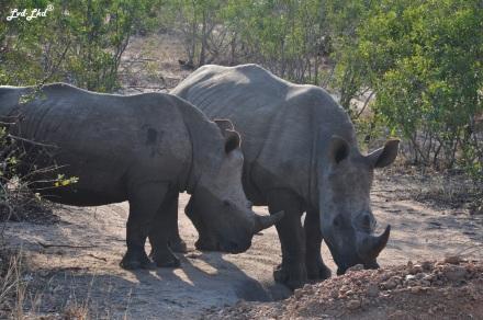 10-rhino-proche-2