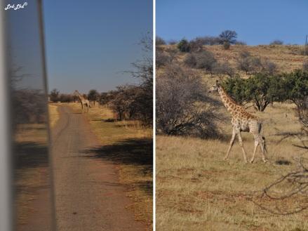 11-girafe-route-1