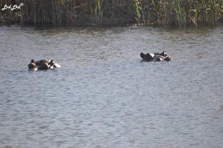 12-hippopotame-2