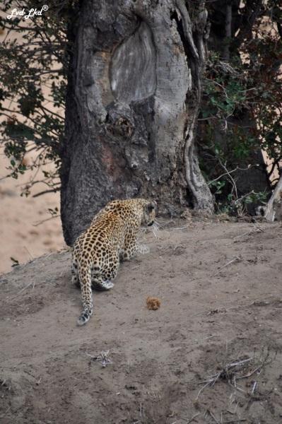 12-leopard-10