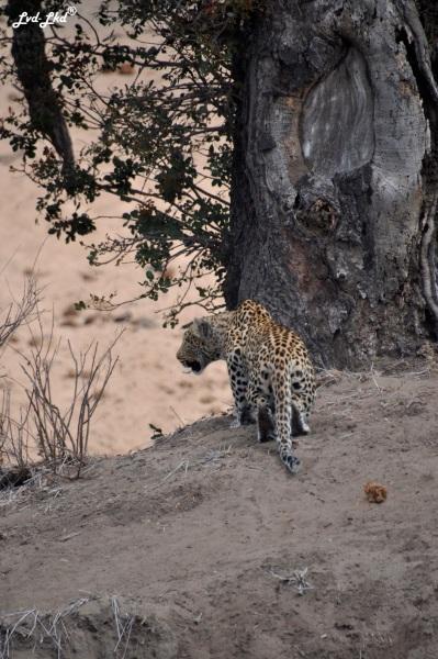 12-leopard-11