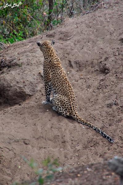 12-leopard-3