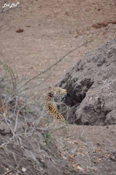 12-leopard-5