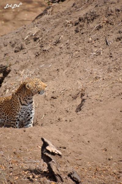 12-leopard-6