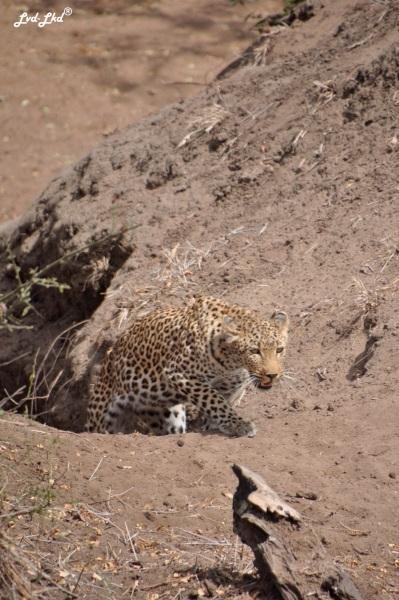 12-leopard-7