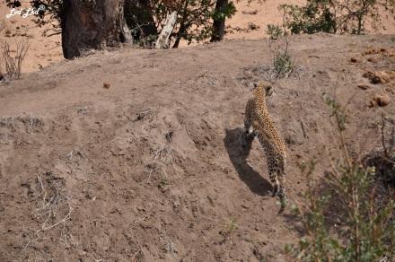 12-leopard-8