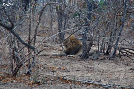 14-lion-2