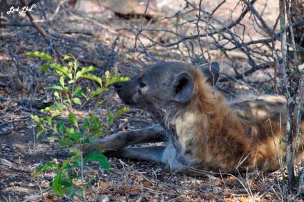 15-hyene