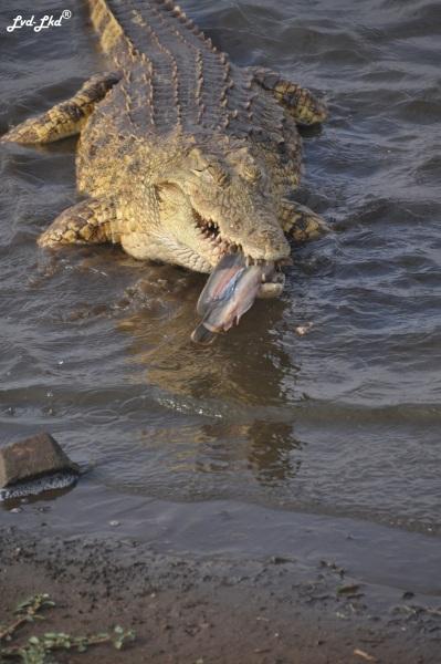 2-crocodile-mange