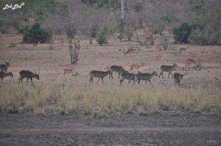 2-impalas-et-cobes-1