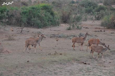 2-impalas-et-cobes-2