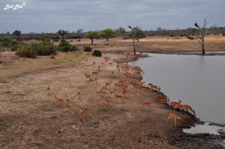 2-impalas-et-cobes-3