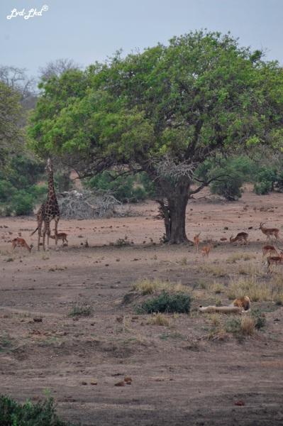 3-girafes-1