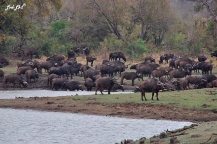 5-buffles-et-elephants-2