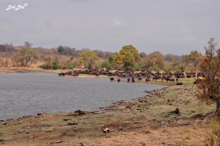 5-buffles-et-elephants-4