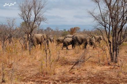 5-buffles-et-elephants-5