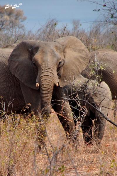 5-buffles-et-elephants-6