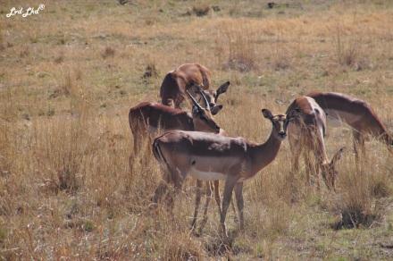 5-impala