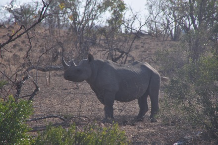 5-rhino-1