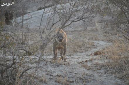 6-hyene-1