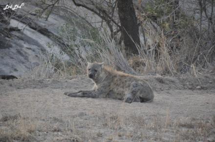 6-hyene-3