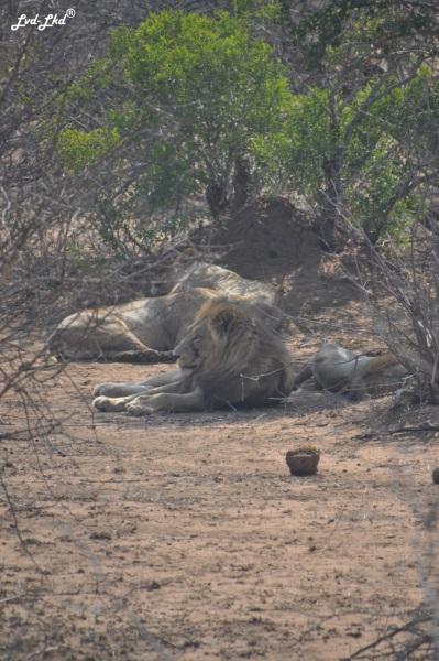 6-lion-5