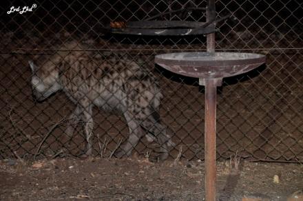 8-hyene-2