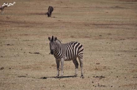8-zebre-1