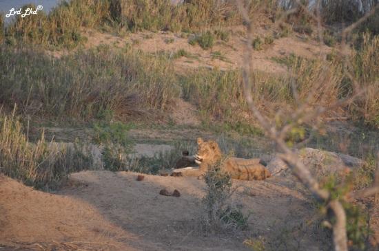 9-lion-et-leopard-1