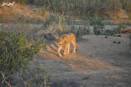 9-lion-et-leopard-2