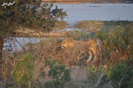 9-lion-et-leopard-3