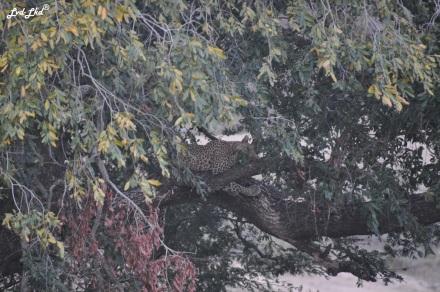 9-lion-et-leopard-5