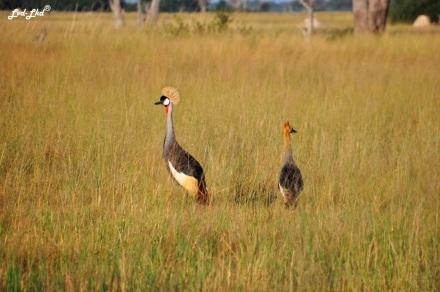 6 crowned crane